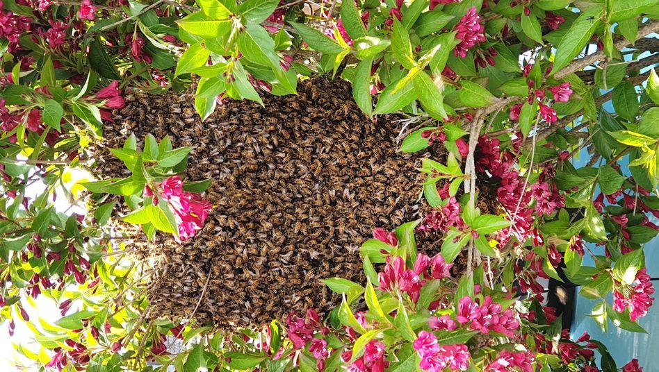 Fleißige Bienen in Bergheim