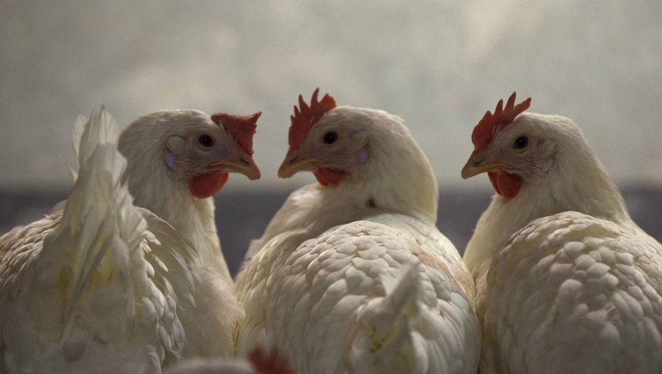 Hühner im Mastbetrieb: Vorsorglich wurden mehr als 4700 Höfe geschlossen