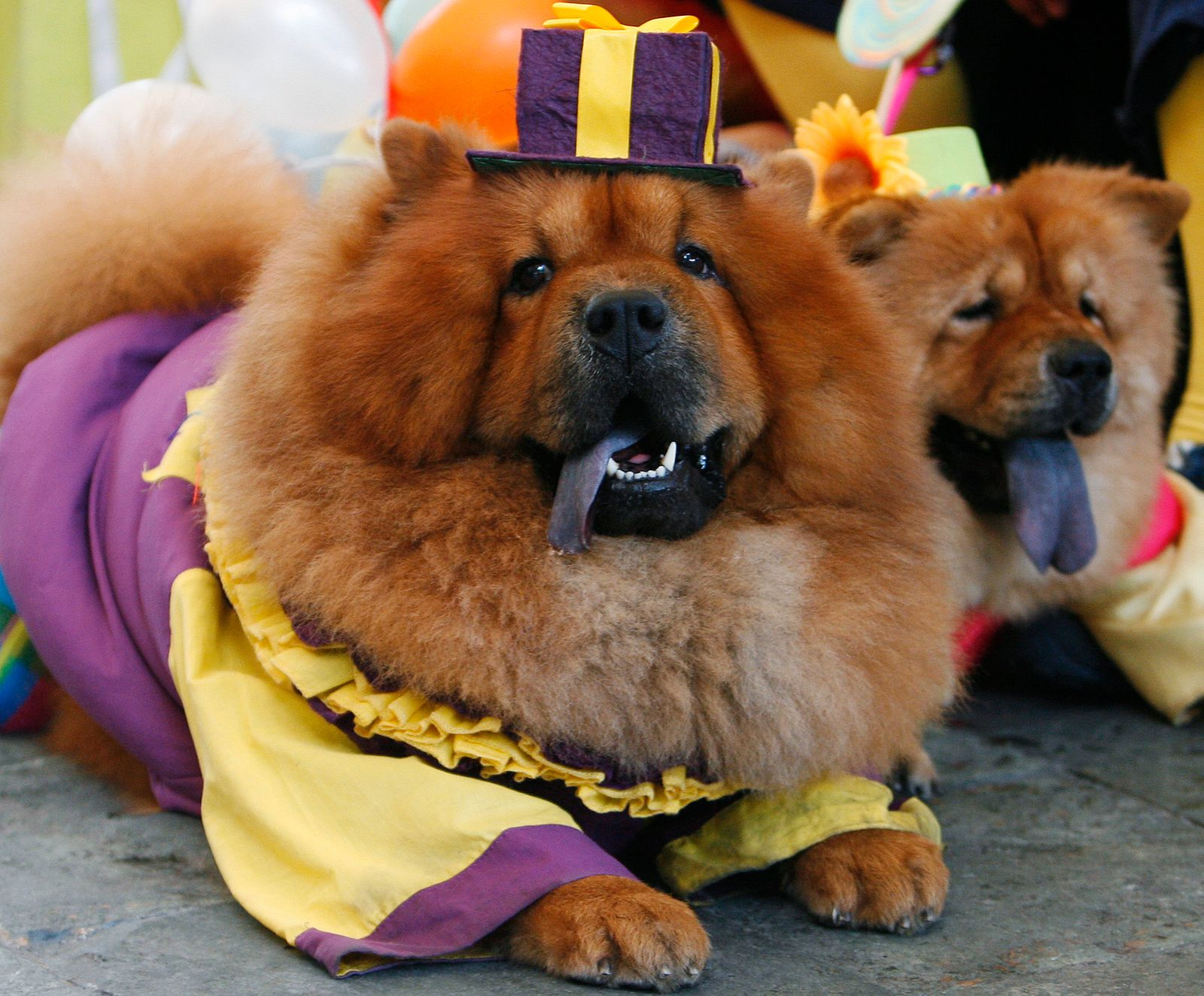 Two Chow Chows dressed in clown costumes are seen during a Halloween fund-raising event in Quezon City