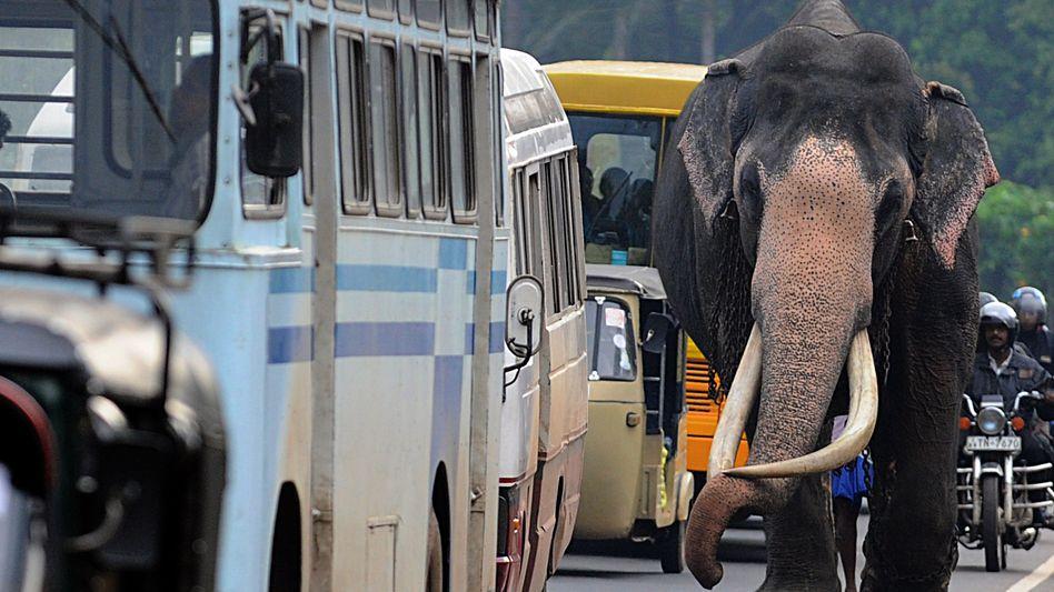 Elefant in Colombo, der Hauptstadt von Sri Lanka