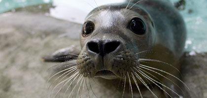 """Baby-Robbe: """"Wir haben bewiesen, dass die Tiere zu diese kognitiven Leistung in der Lage sind."""""""