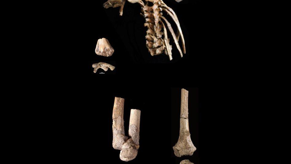 Fossil eines Australopithecus-Kindes: Kletterfuß inklusive