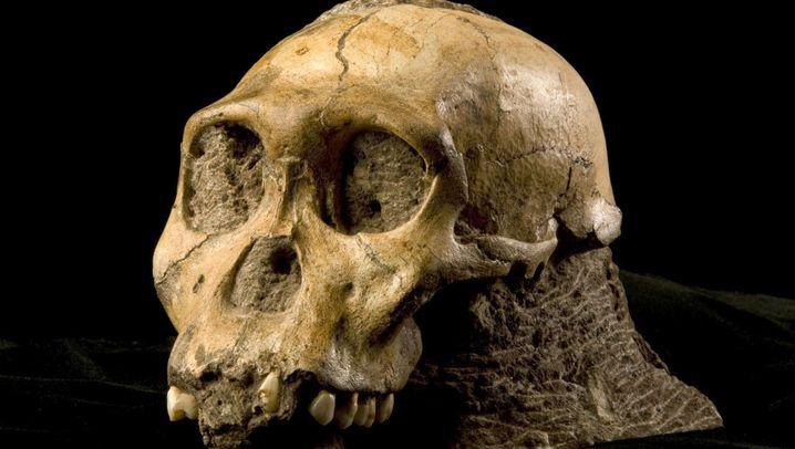 Australopithecus sediba: Der rätselhafte Vormensch