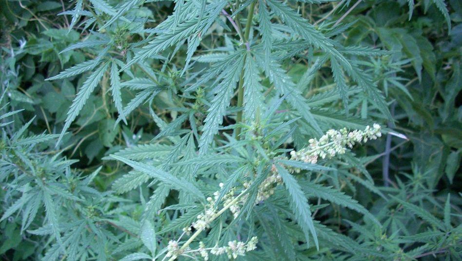 Wilder Cannabis in Kasachstan: Mit göttlichen Mächten in Kontakt treten