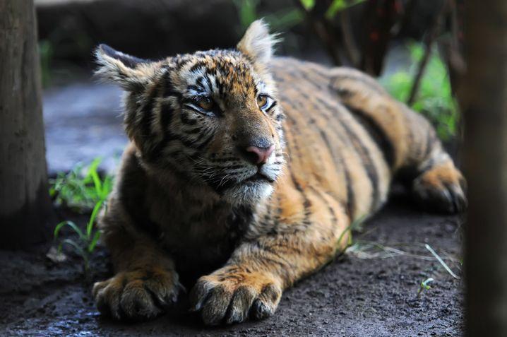Tiger im Augsburger Siebentischwald unterwegs? Das war wohl eher eine Ente