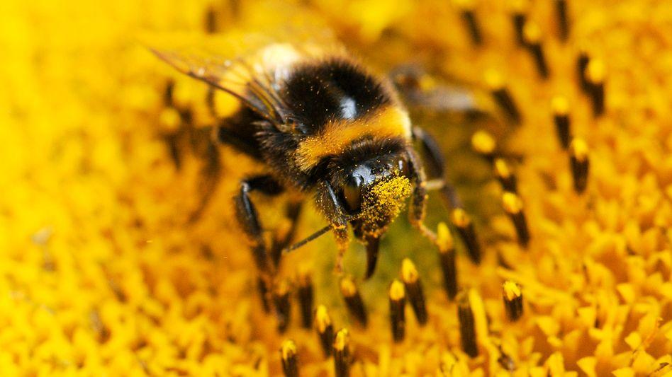 Hummel sammelt Pollen