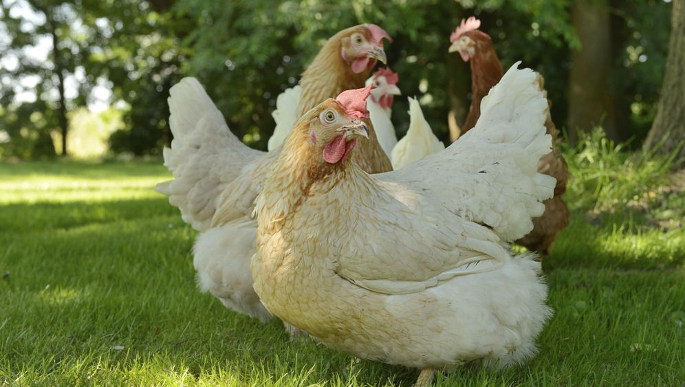 Photo Gallery: Can Chicken Farming be Reinvented?