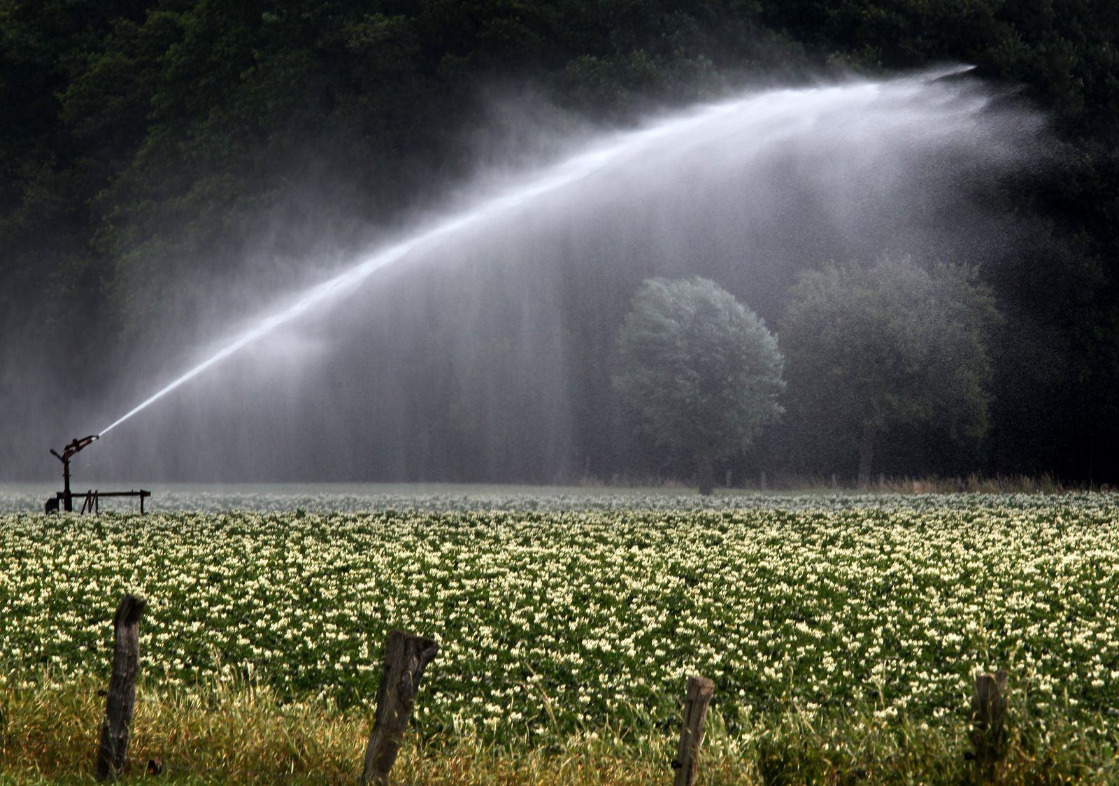 Bewässerung von Kartoffelpflanzen