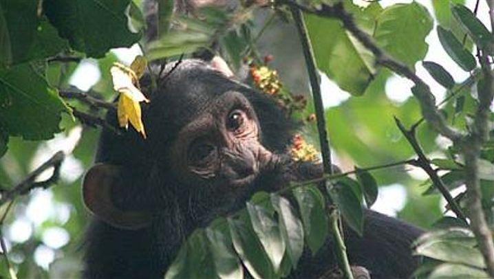 Die Schimpansen von Kibale: Wild und beobachtet