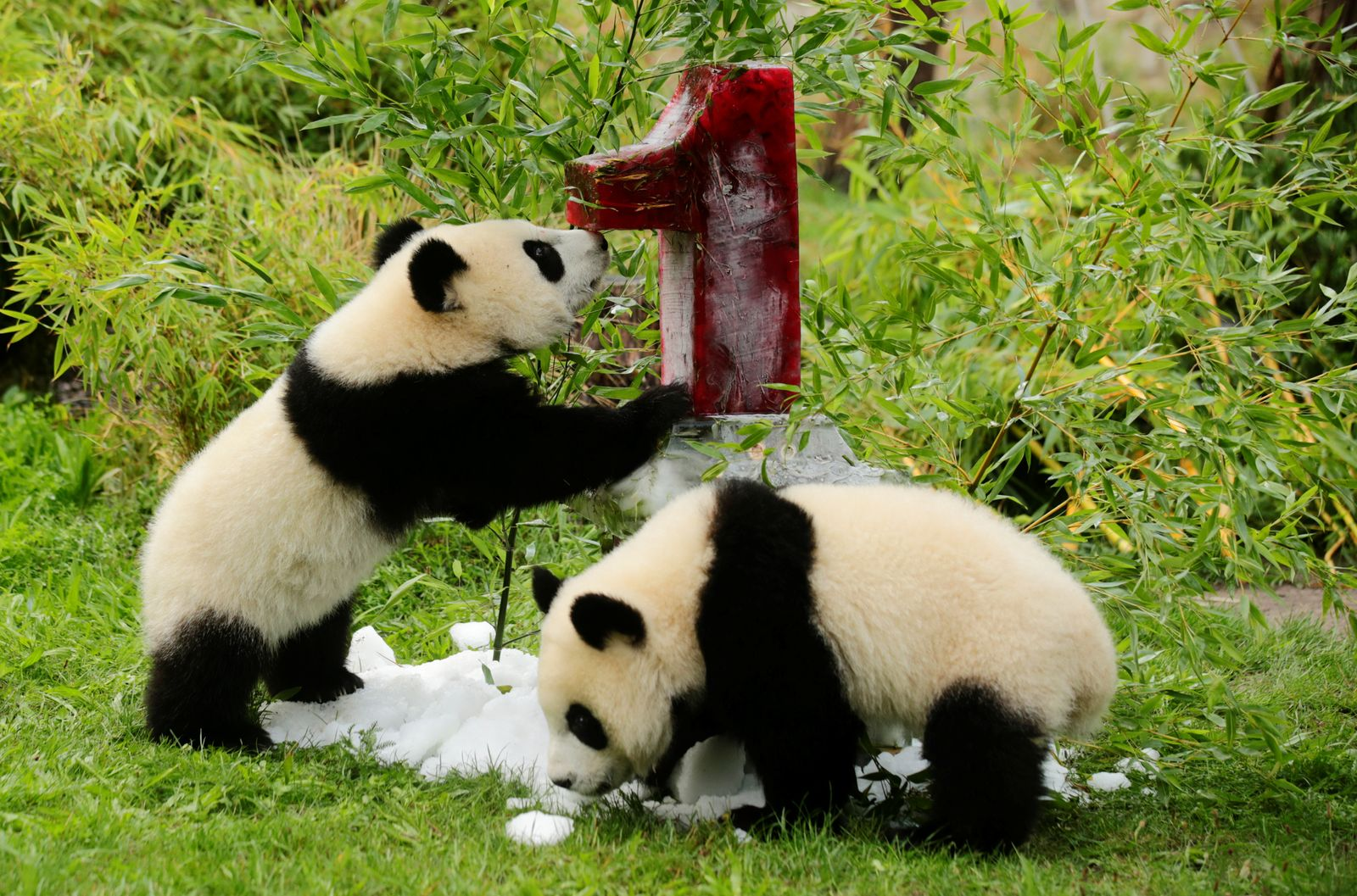 The panda twins Pit and Paule receive a birthday ice cake in their enclosure at the Berlin Zoo