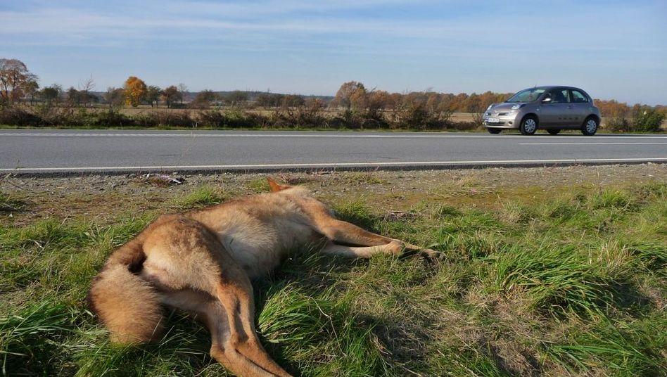 Toter Wolf: Überfahren auf der Bundesstraße 97