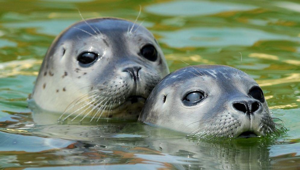 Seehundwaisen an der Nordsee: Aufwachsen ohne Mama