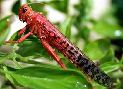 An infestation of locusts devastated Western African crops last autumn.