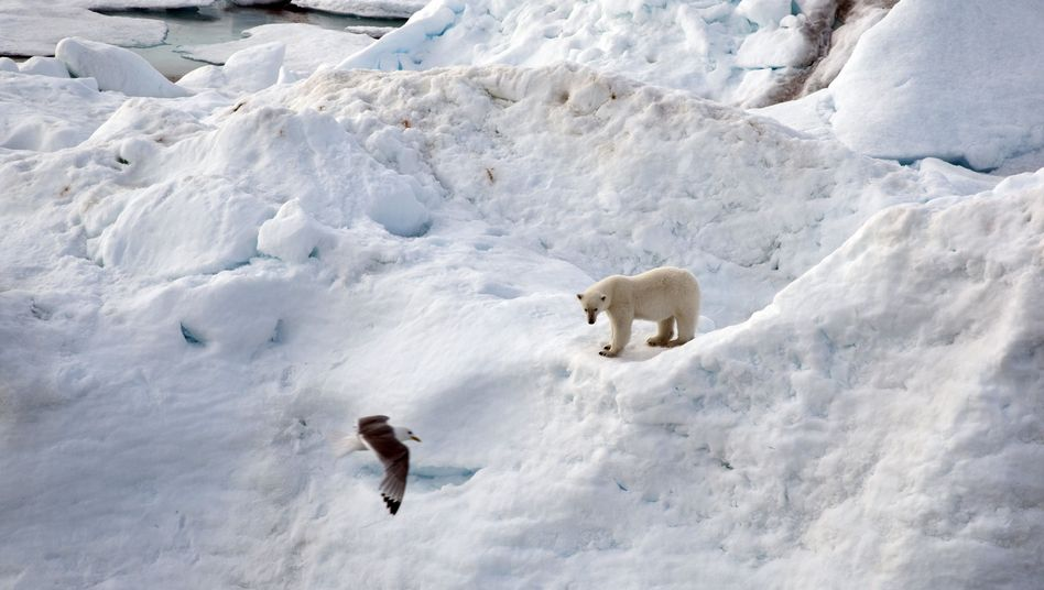 Eisbär im Nordpolarmeer: Kleine Eiszeit veränderte das Klima der Erde nur regional
