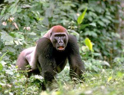 Kurz und kräftig: Gorillas sind streitlustig und haben kurze Beine