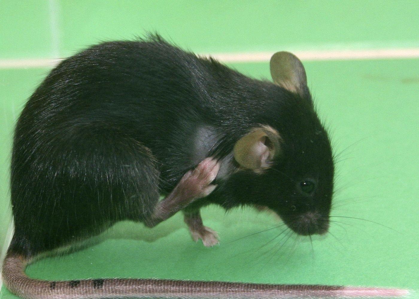 Maus / Mäuse