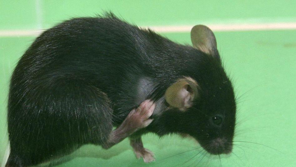 Labormaus: Tiere mit Putzwahn leiden unter Haarverlust