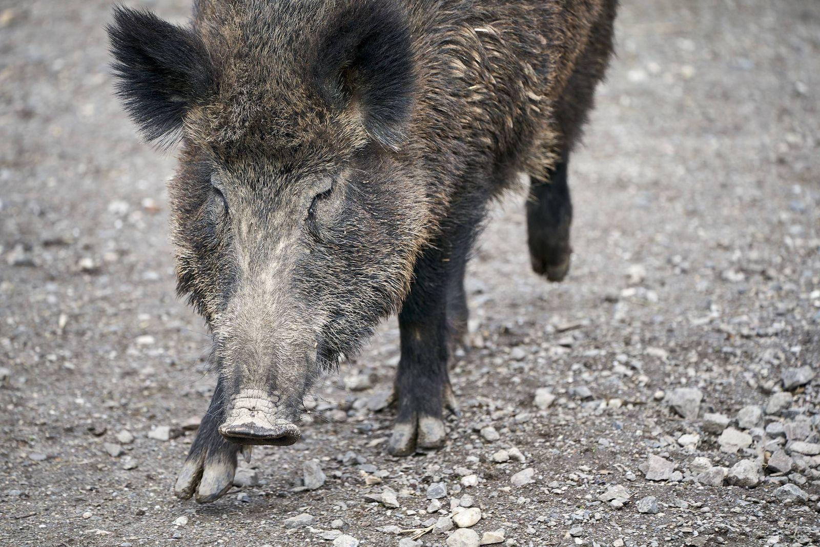 Wildschwein am Remstecken 26.03.2019, Rheinland-Pfalz, Koblenz: Ein Wildschwein erkundet in einem weitläufigen Gehege a