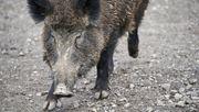 Schweinepest erreicht auch Sachsen