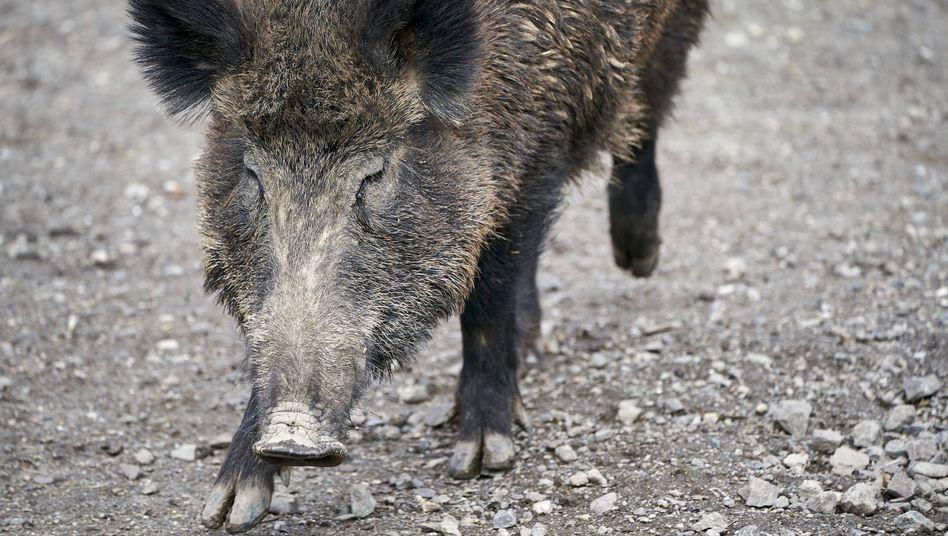 Wildschwein in einem Gehegein Rheinland-Pfalz (Archivbild)