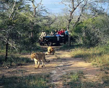 Safari-Tourist trifft Löwen: Jeff Asherwood gilt als Katzen-Experte