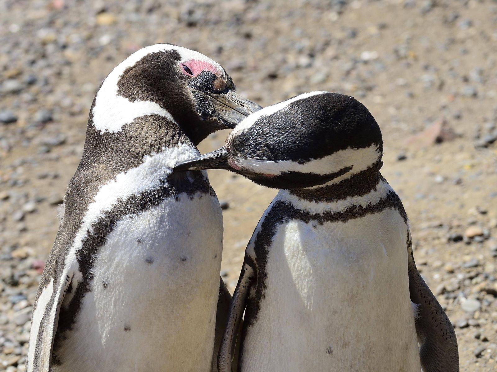 EINMALIGE VERWENDUNG Pinguine/ Paar