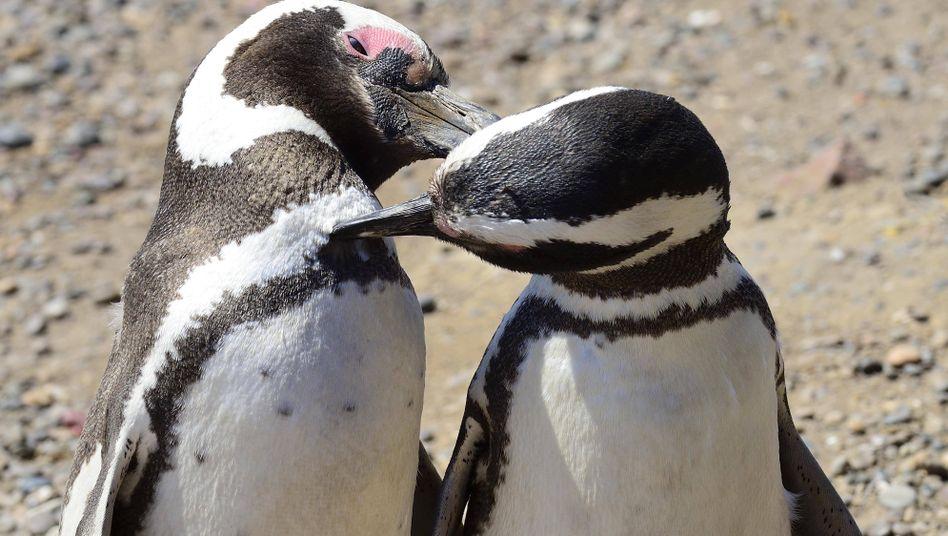 Pinguine (Symbolfoto)