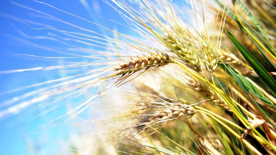Weizen: Gehört zu einer ausgewogenen Ernährung - wird aber nicht von jedem vertragen