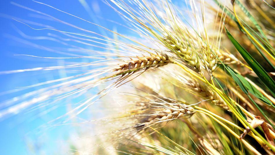 Getreide: Vor allem Vollkornprodukte sind gute Ballaststofflieferanten