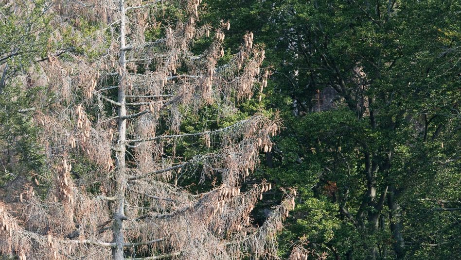 Vertrockneter Nadelbaum im Nationalpark Harz