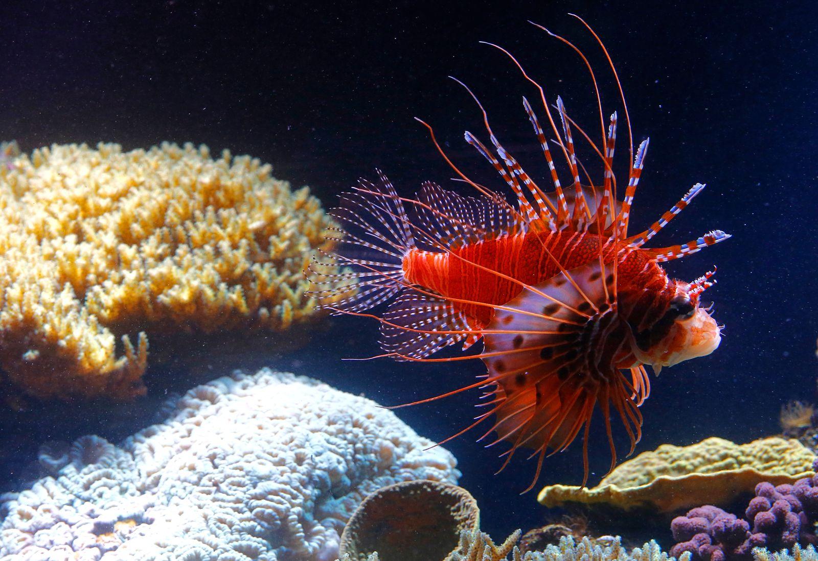Feuerfisch/ Rotfeuerfisch
