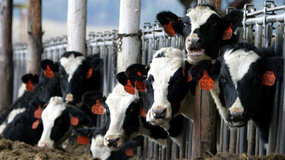 Rinderzucht in den USA: 500 Tonnen pro Monat werden importiert