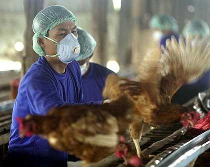 Thailändische Gesundheitsbeamte sammeln mit der Vogelgrippe infizierte Hühner ein: Notschlachtungen angeordnet