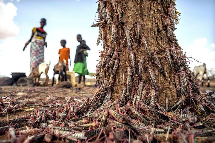 Wüstenheuschrecken in Kenia: Die Tiere wären durchaus eine Proteinquelle - doch es sind viel zu viele, um sie zu essen. Und wenn man es trotzdem tut, muss klar sein, dass keine Pestizide an den Tieren haften.
