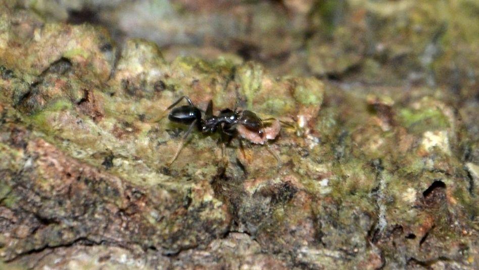 Ameise der Art Philidris nagasau auf den Fidschi-Inseln pflanzt Samen in der Rinde eines Baumes