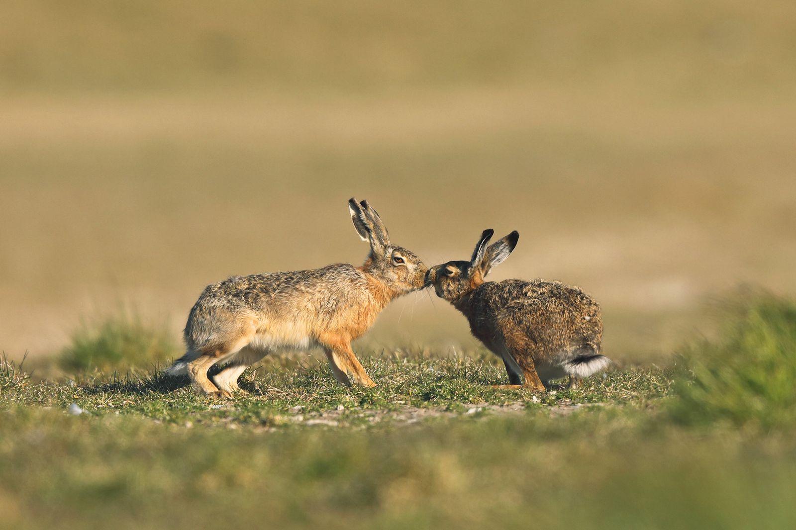 Europaeischer Hase, Europaeischer Feldhase (Lepus europaeus), Hasenhochzeit, Maennchen kuesst Weibchen, Niederlande, Fri