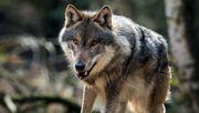 Problemwolf in Niedersachsen überfahren