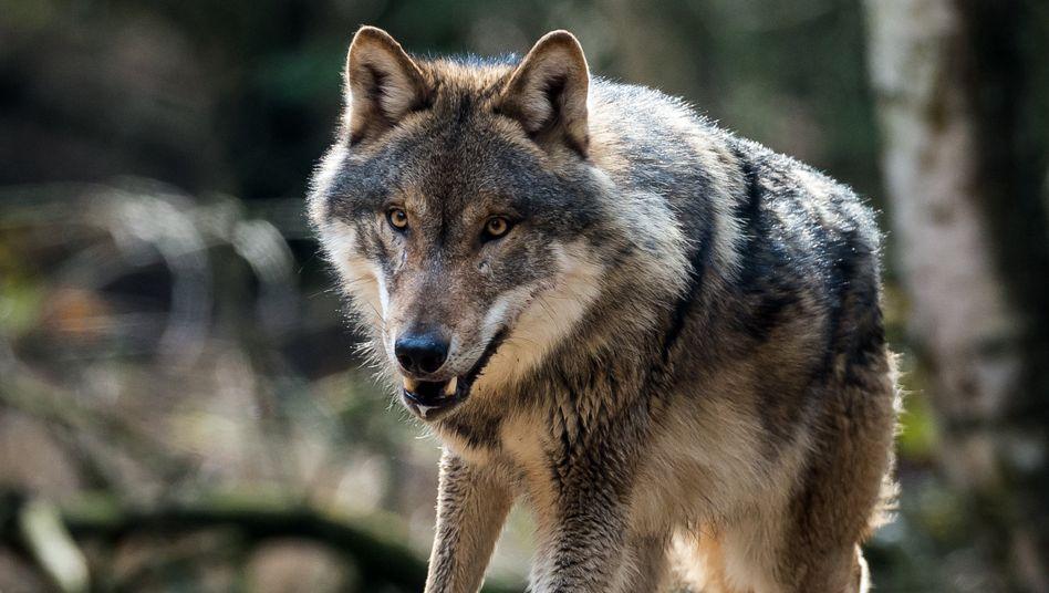 Wolf ist in seinem Gehege im Wildpark Schorfheide in Brandenburg