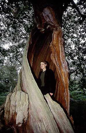 Knorrige Bäume: Gutes Versteck für Wegelagerer