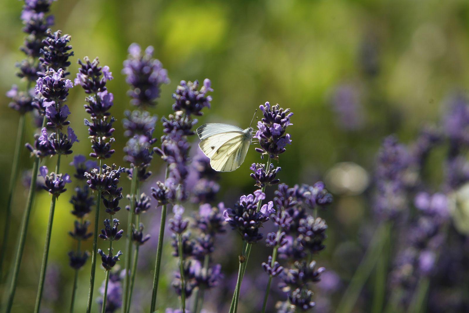 NICHT VERWENDEN Lavendel / Schmetterling