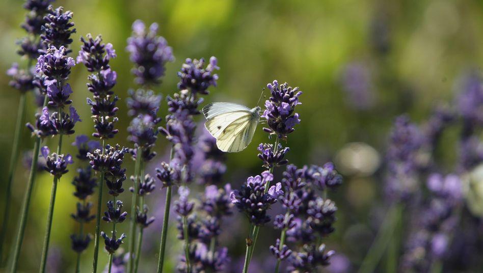 Lavendelblüten: Ätherisches Öl wird als Heilmittel verwendet