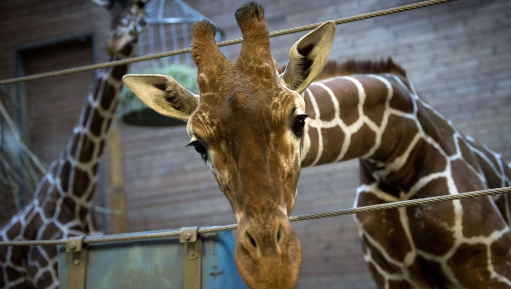 Giraffe in Kopenhagen: Abschied von Marius