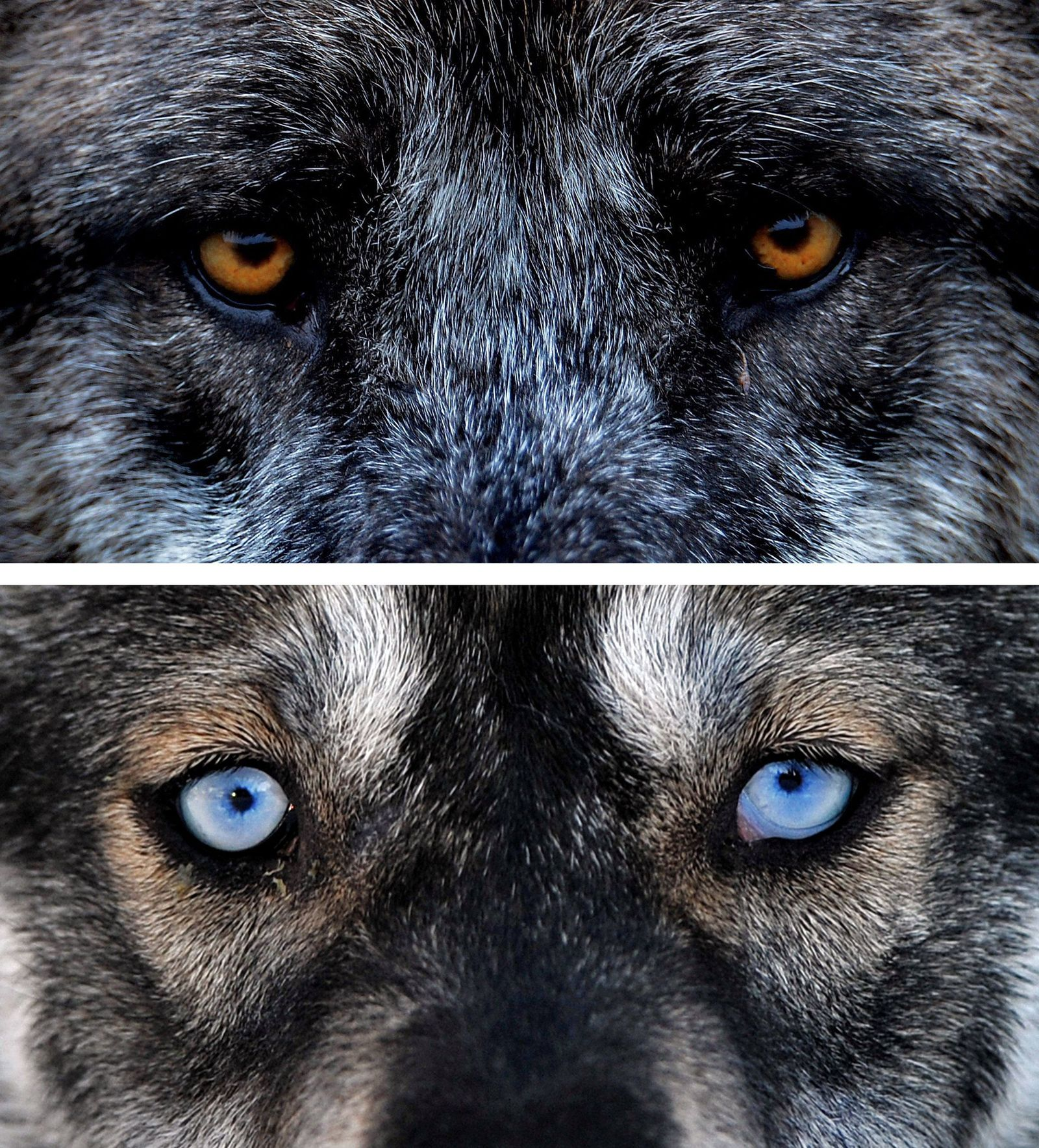 KOMBO Wolf zum Hund / Husky