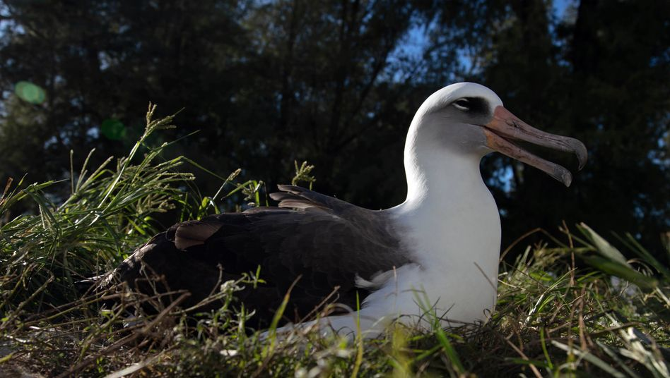 Nach wahrscheinlich 36 Küken Vollprofi im Brüten: Laysan-Albatros Wisdom auf ihrem Nest