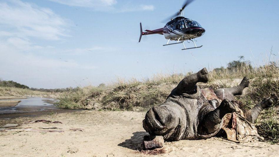 Verstümmeltes Nashorn im Krüger-Nationalpark: »Wir kämpfen um die Erhaltung einer Art, wir befinden uns im Krieg«