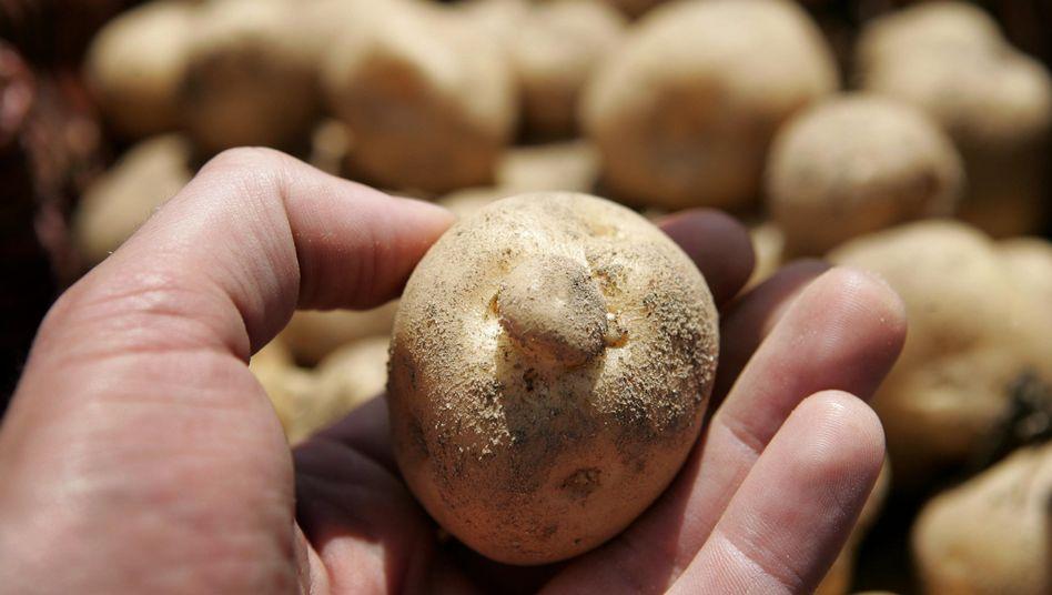Gen-Kartoffel Amflora: 300 Tonnen müssen jetzt auf Verunreinigung untersucht werden