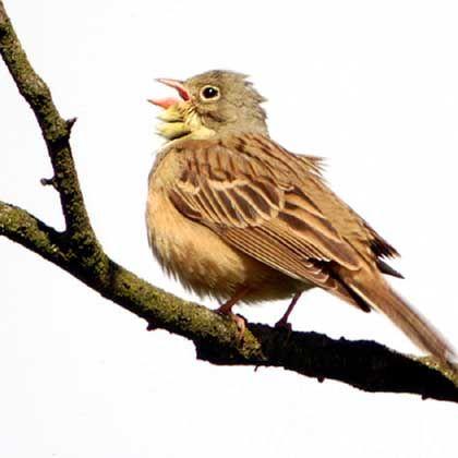 Singende Gartenammer: Veränderungen im Gesang von Vögeln binnen weniger Jahre möglich