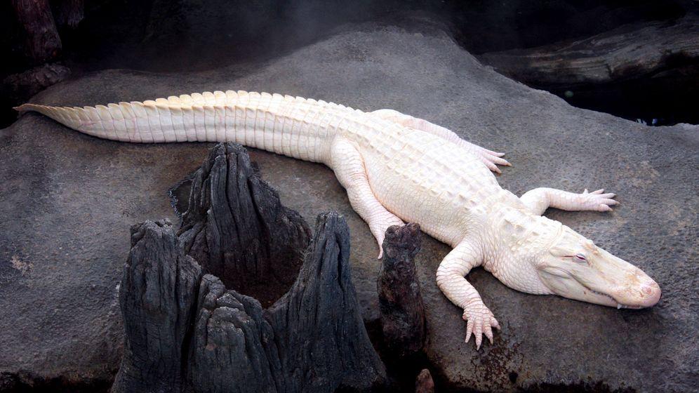 Academy of Sciences: Besuch beim Albino-Krokodil