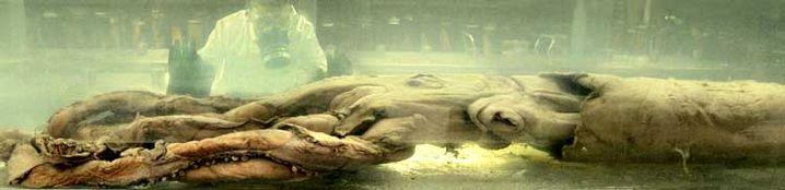 Riesenkalmar in London: Museum stellt Kopffüßer aus