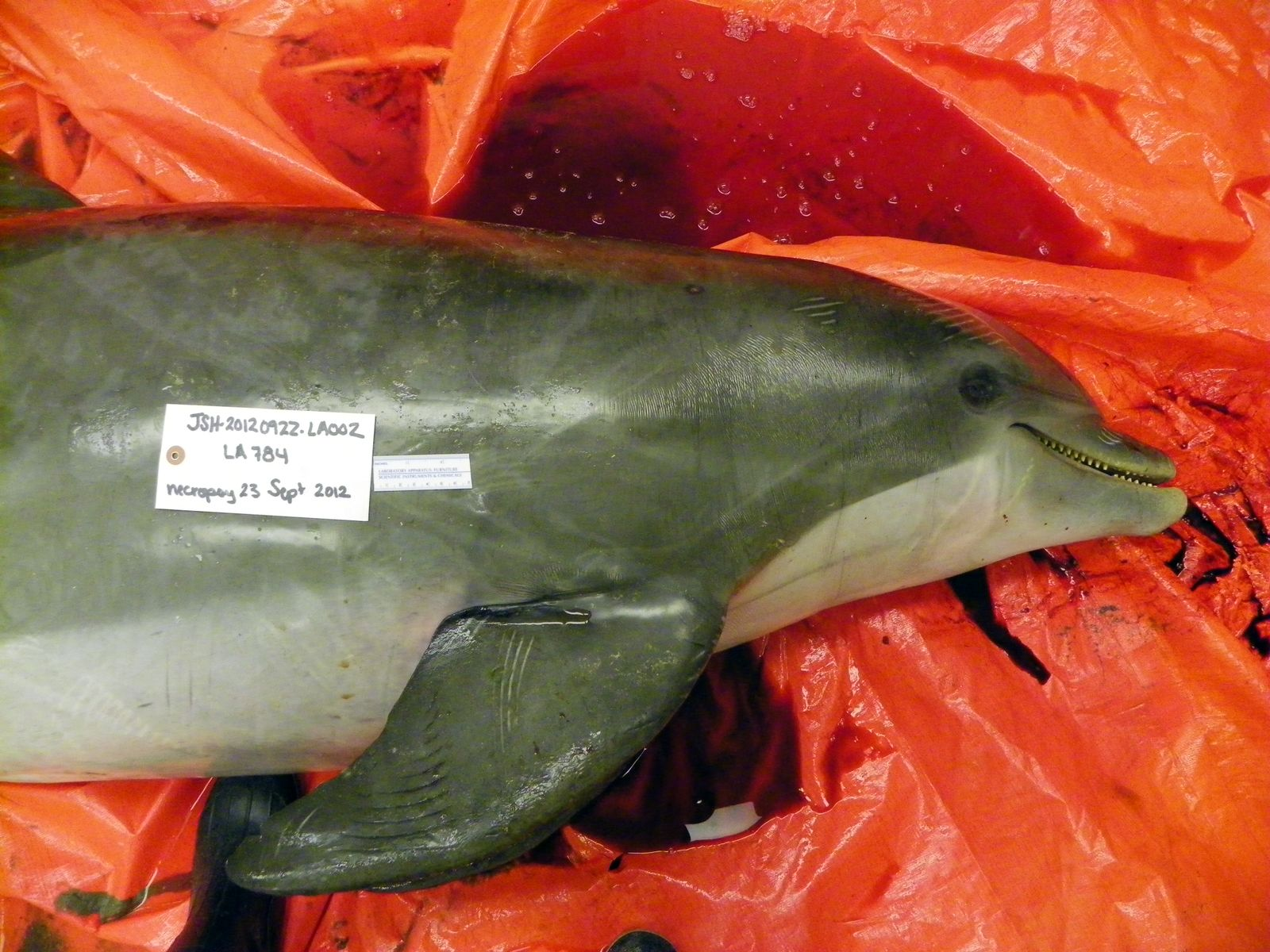 Louisiana/ erschossene Delfine